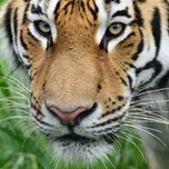 15_06_30_AmurTiger_Male_Marty_closeup.jpg