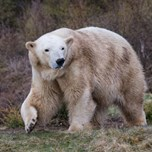 15_05_07_PolarBear_Female_Victoria.jpg