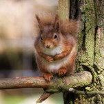 15-04-25_RedSquirrel.jpg