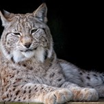 15_03_12_NorthernLynx.jpg