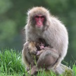 15_06_26_JapaneseMacaque_and_baby.jpg