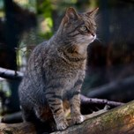 14_10_25_ScottishWildcat.jpg