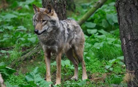 European Grey Wolf | Highland Wildlife Park
