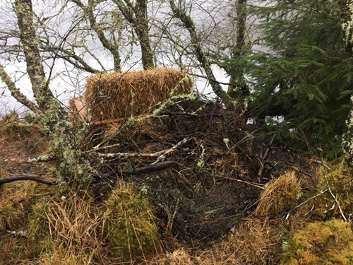 RZSS Scottish Beaver - Alba's artificial lodge now covered in branches - week 5