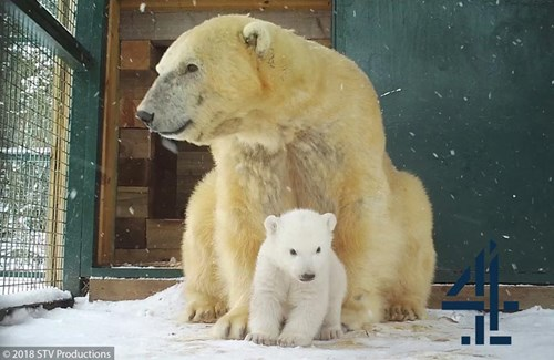 Polar bear cub emerges at Highland Wildlife Park