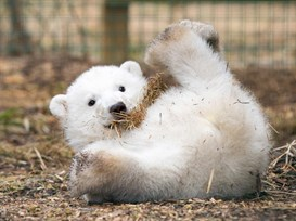 Polar bear cub Hamish laying on his back