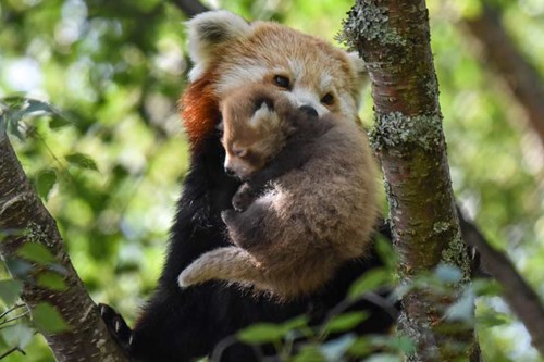 Red panda kits at RZSS Highland Wildlife Park