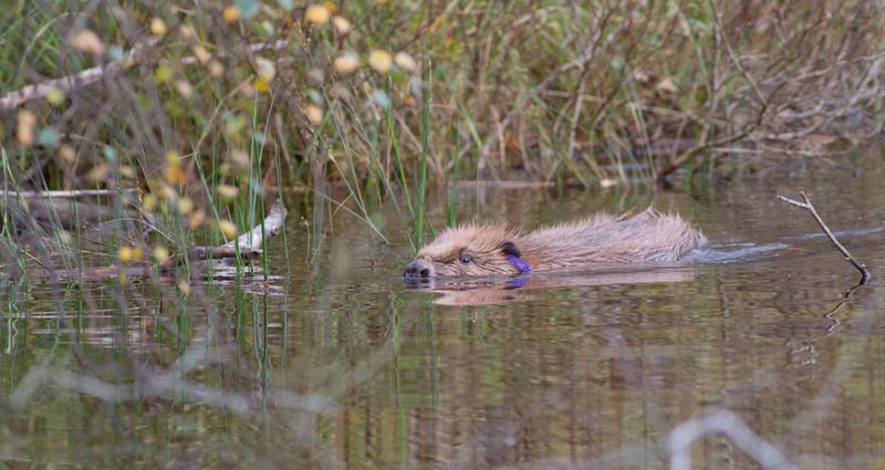 Beavers to become a protected species in Scotland